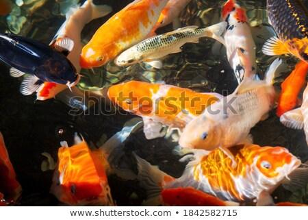 Grup güzel koi sazan balık yüzme Stok fotoğraf © ivo_13