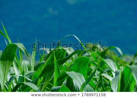 mısır · yalıtılmış · beyaz - stok fotoğraf © photo25th