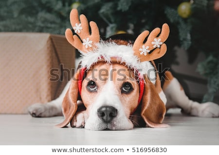 beautiful beagle dog in christmas hat Stock photo © svetography