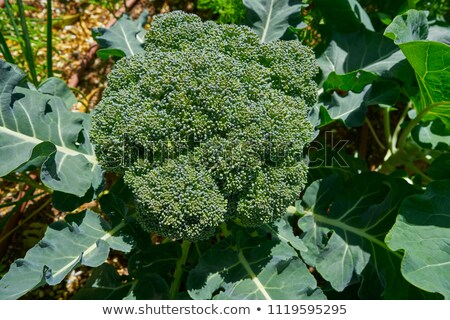 Broccoli plant in an organic orchard homestead Stock photo © lunamarina