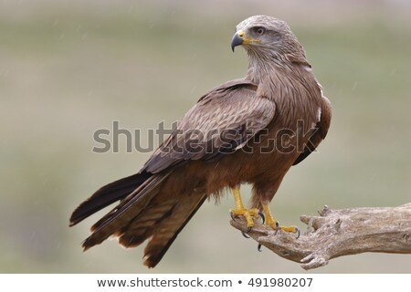 black kite in the sky stock photo © nobilior
