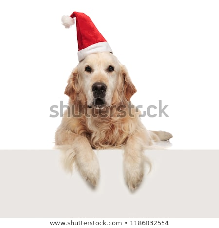 curious santa golden retriever lying with paws hanging Stock photo © feedough