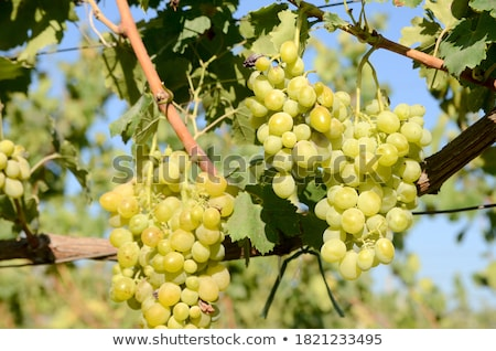 tasty bunch of grapes for white wine production stock photo © robuart