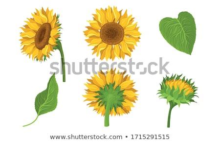 Vektor Sonnenblumen Samen Kopf Blume Set Stock foto © VetraKori