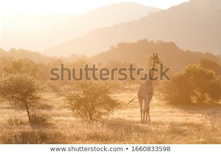 girafa · floresta · ilustração · natureza · projeto · verão - foto stock © colematt
