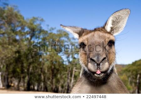 Kangoeroe uit tong natuur reizen dier Stockfoto © lovleah