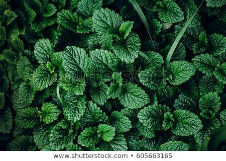Menta menta verde erbe foglie estate stagione Foto d'archivio © romvo