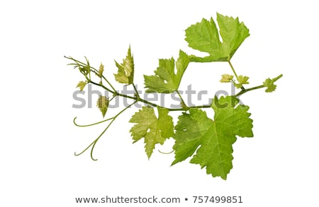 Bunch of Grapes on Grapevine and Leaves Stock photo © Krisdog