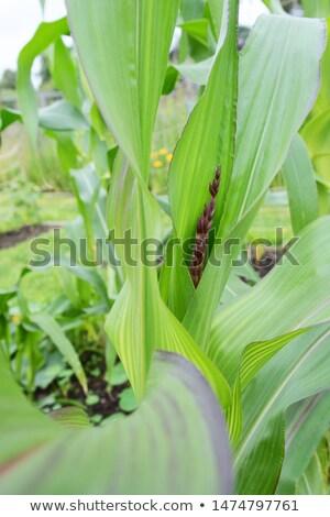 kép · közelkép · citromsárga · kukorica · textúra · egészséges - stock fotó © sarahdoow