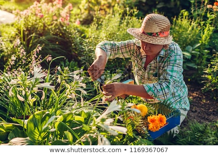 senior woman with garden pruner and flowers stock photo © dolgachov