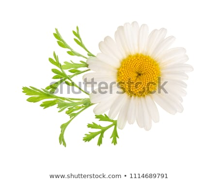 Rumianek kwiaty herbaty rumianek płytki Zdjęcia stock © AGfoto