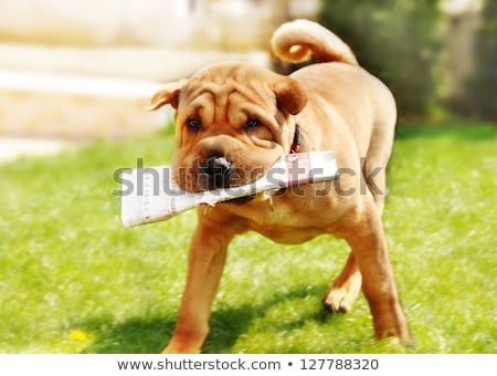 Shar Pei dog with newspapers stock photo © simply
