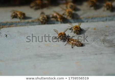 Pszczoła ul posiedzenia plaster miodu człowiek ramki Zdjęcia stock © przemekklos