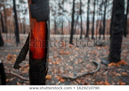 Beautiful wood underneath the charred bark of recent bush fire Stock photo © lovleah