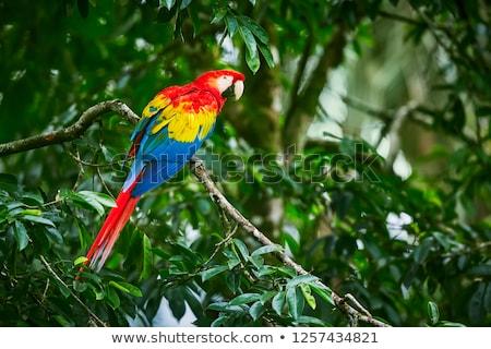 Scarlet Macaw (Ara Macao) Stock photo © gant
