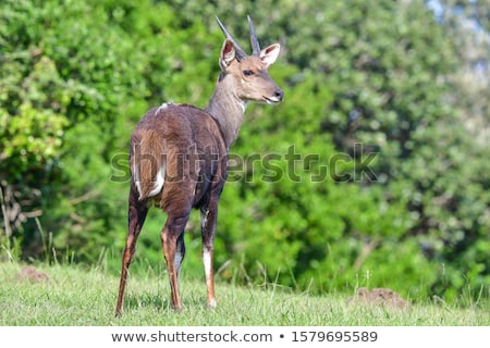 Young Bushbuck Stock photo © zambezi