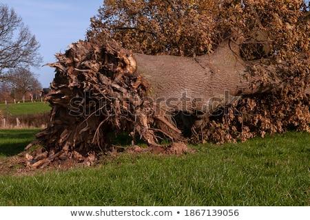 öreg tölgy fa erdő tájkép növény Stock fotó © visdia