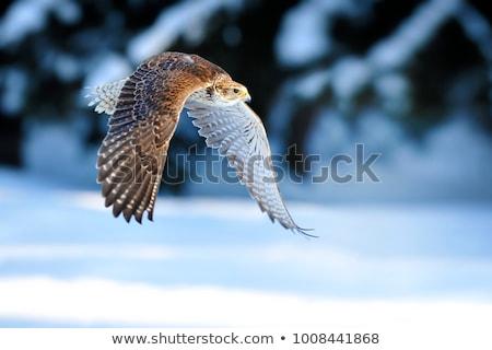 птица молятся атаковать Flying изолированный Cool Сток-фото © Alvinge