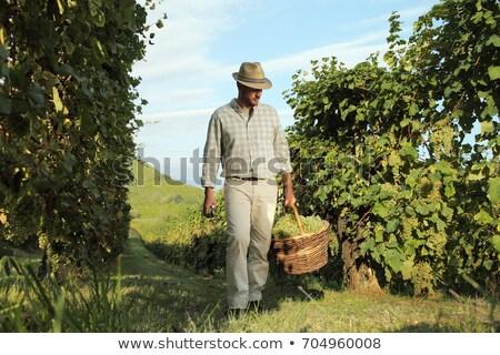 Homem caminhada uvas andar cultura campos Foto stock © photography33