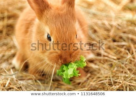 Bebek tavşan yeme marul arka plan Stok fotoğraf © pixelmemoirs