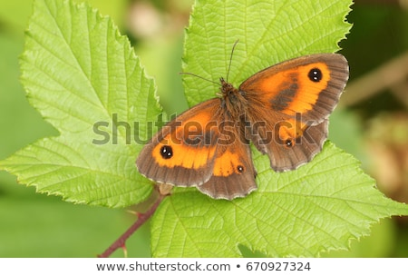 Gatekeeper Butterfly (Pyronia tithonus) Stock photo © chris2766