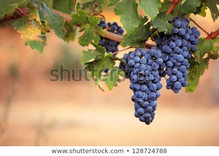 Stock photo: Bunches Of Green Grapes On Vineyard 2