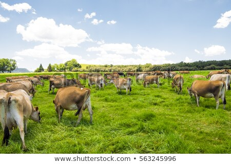 Jersey cow in grass Stock photo © tilo