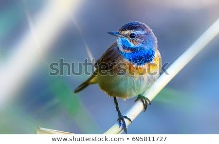 Csinos kicsi kék madár barna egyszerű Stock fotó © adrian_n