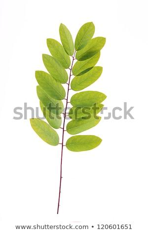 Leaves of acacia Stock photo © hraska