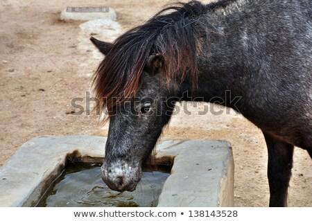 Vad póni ivóvíz ló állat víz Stock fotó © sirylok