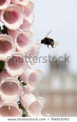 pink foxglove blooms being pollinated by a bumble bee stock photo © sarahdoow