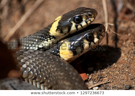 Grass snake, Natrix Natrix Stock photo © Arrxxx