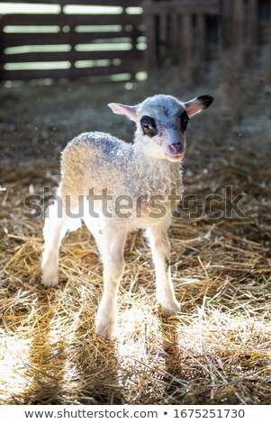 little puppy pet standing on hay Stock photo © goce