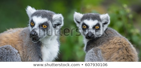 Cute lemur kata stock photo © andromeda