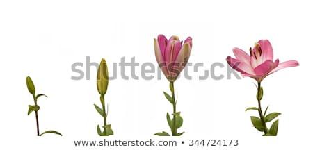 ユリ 花 グループ ピンク 赤 花 ストックフォト © AlessandroZocc