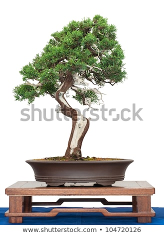 Bonsai tree Juniper China (Juniperus chinensis)  Stock photo © marimorena