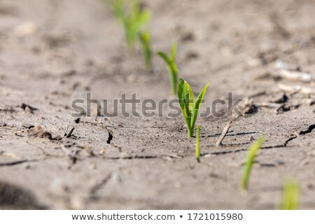 Young corn plant sprout growth stages Stock photo © stevanovicigor