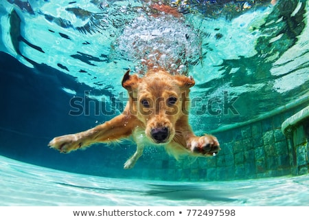 dog swimming Stock photo © willeecole