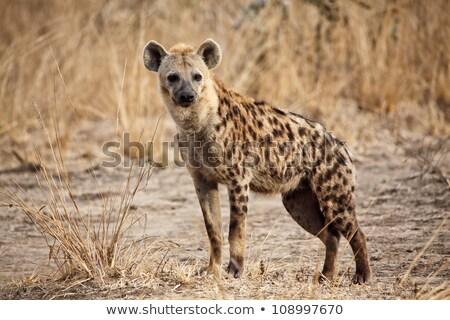 spotted hyena stock photo © ajn