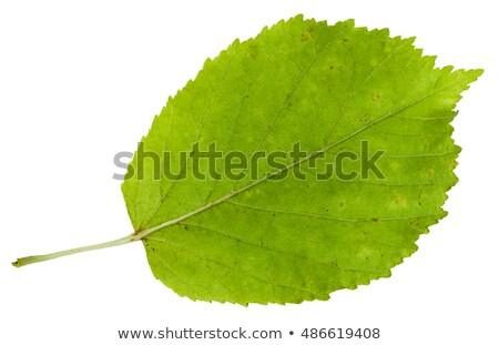green acer negundo leaf on white background stock photo © bsani