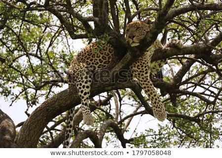 Leopar uykulu stok görüntü Stok fotoğraf © Blackdiamond