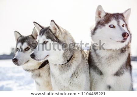 köpek · büyük · kış · evler · takım · bireysel - stok fotoğraf © dinozzaver