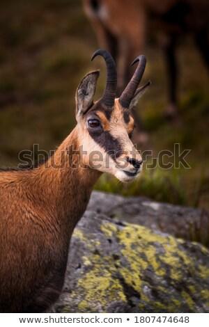chamois in mountains stock photo © martin_kubik