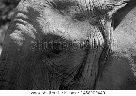 Two young Elephants cuddling in black and white. Stock photo © simoneeman