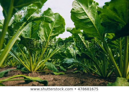 Sugar beet in cultivated root crop field Stock photo © stevanovicigor