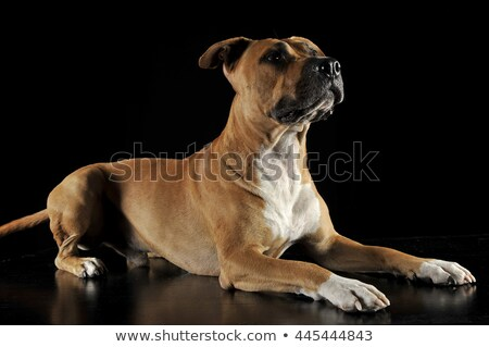 american stafford shire looking up in a photo studio stock photo © vauvau