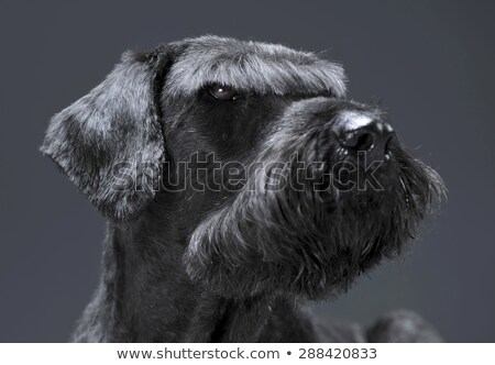 Giant schnauzer portrait in a dark studio  stock photo © vauvau