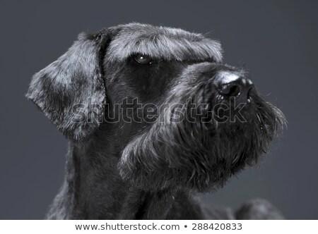 гигант шнауцер портрет темно студию Сток-фото © vauvau