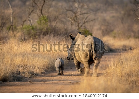 Stock photo: Baby White rhino on the road in the Kruger National Park.