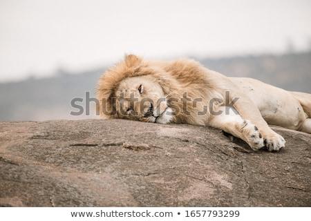 Lions laying on rocks. stock photo © simoneeman